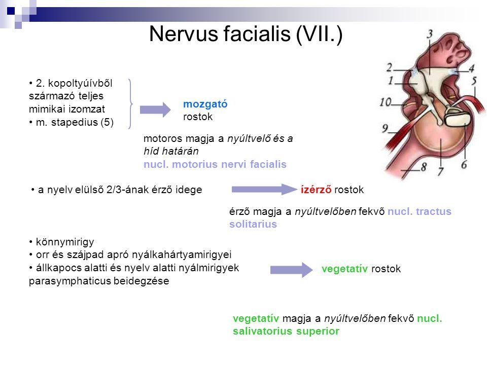Nervus facialis (VII.) 2. kopoltyúívből származó teljes mimikai izomzat m. stapedius (5) könnymirigy orr és szájpad apró nyálkahártyamirigyei állkapoc