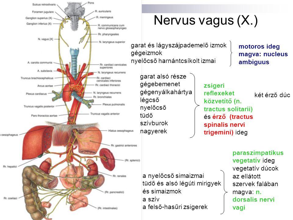 Nervus vagus (X.) garat és lágyszájpademelő izmok gégeizmok nyelőcső harnántcsíkolt izmai motoros ideg magva: nucleus ambiguus garat alsó része gégebe