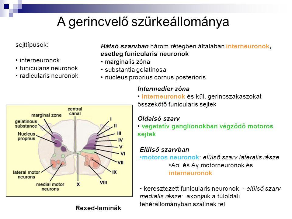 sejttípusok: interneuronok funicularis neuronok radicularis neuronok Hátsó szarvban három rétegben általában interneuronok, esetleg funicularis neuron