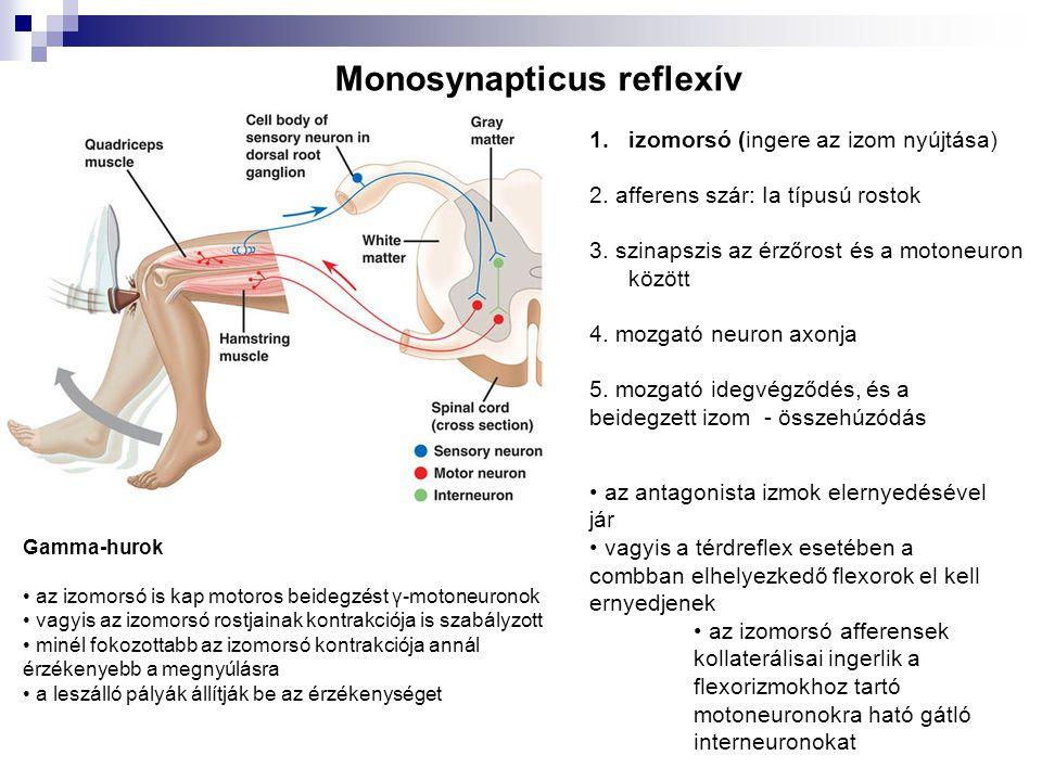 Monosynapticus reflexív 1.izomorsó (ingere az izom nyújtása) 2. afferens szár: Ia típusú rostok 3. szinapszis az érzőrost és a motoneuron között 4. mo