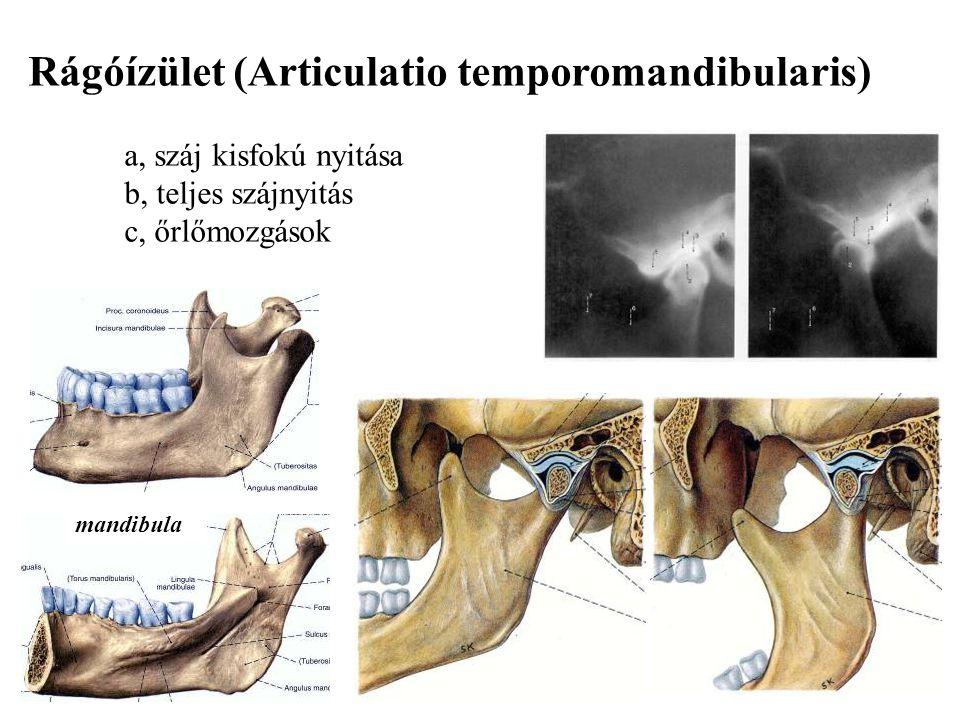 Rágóízület (Articulatio temporomandibularis) a, száj kisfokú nyitása b, teljes szájnyitás c, őrlőmozgások mandibula