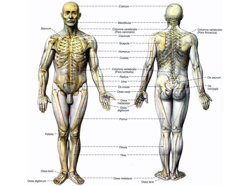 """A koponya (cranium) Agykoponya - szabálytalan alakú és lapos csontok agyvelő (""""irányító a toronyban ) - """"agytok védelem."""