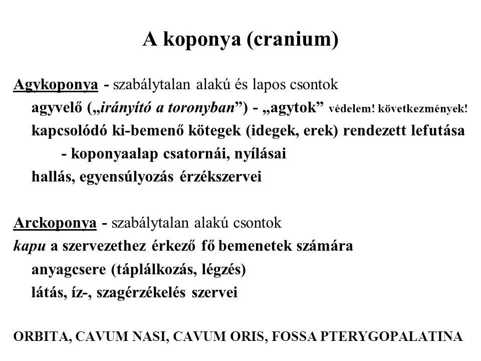 """A koponya (cranium) Agykoponya - szabálytalan alakú és lapos csontok agyvelő (""""irányító a toronyban"""") - """"agytok"""" védelem! következmények! kapcsolódó k"""