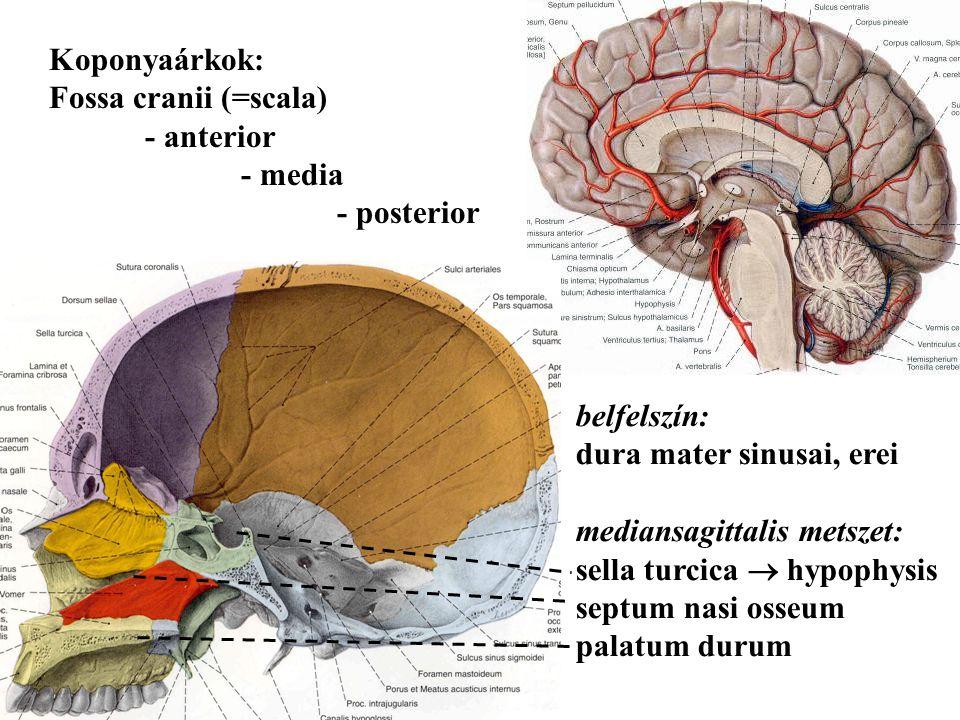 Koponyaárkok: Fossa cranii (=scala) - anterior - media - posterior belfelszín: dura mater sinusai, erei mediansagittalis metszet: sella turcica  hypo