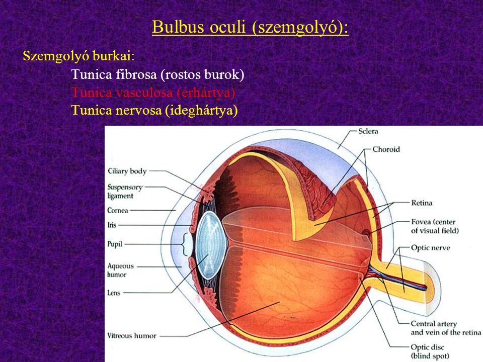 - Corpus ciliare (sugártest): - erekben gazdag; a csarnokvizet termeli, - elülső redőzött része a corona ciliaris, melynek redőihez kapcsolódnak a lencsefüggesztő rostok, - a lencsefüggesztő rostokon keresztül a szemlencse alakját befolyásolja - szimpatikus beidegzésű,