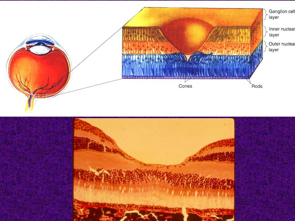 Szemizmok beidegzése: - n.III. (alsó-, felső- és belső egyenes, alsó ferde szemizmok), - n.