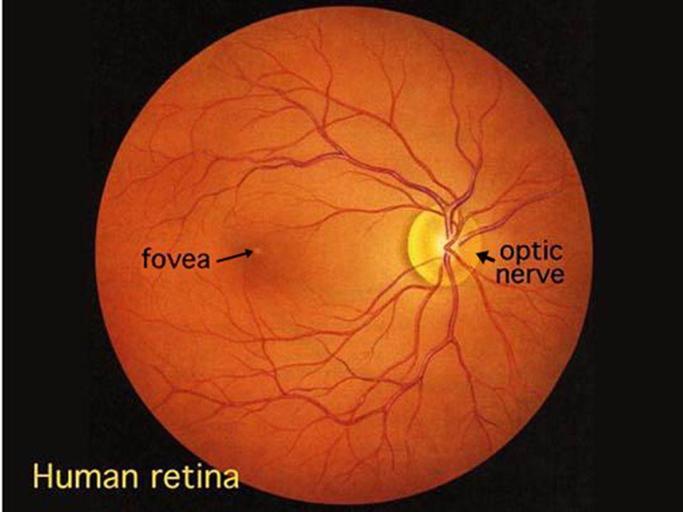 - Retina (recehártya): Fő rétegei: - csapok és pálcikák rétege, - bipoláris neuronok rétege, - ganglionsejtek rétege