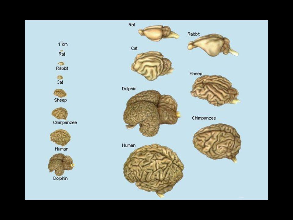 Az idegrendszer fejlődése Az agy Dr.Baksa Gábor Az előadás Dr.