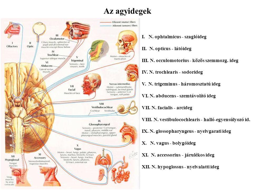 Az agyidegek I. N. ophtalmicus - szaglóideg II. N. opticus - látóideg III. N. occulomotorius - közös szemmozg. ideg IV. N. trochlearis - sodorideg V.