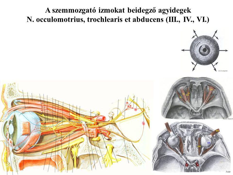 A szemmozgató izmokat beidegző agyidegek N. occulomotrius, trochlearis et abducens (III., IV., VI.)