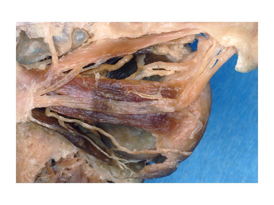 N.hypoglossus (XII.) N.