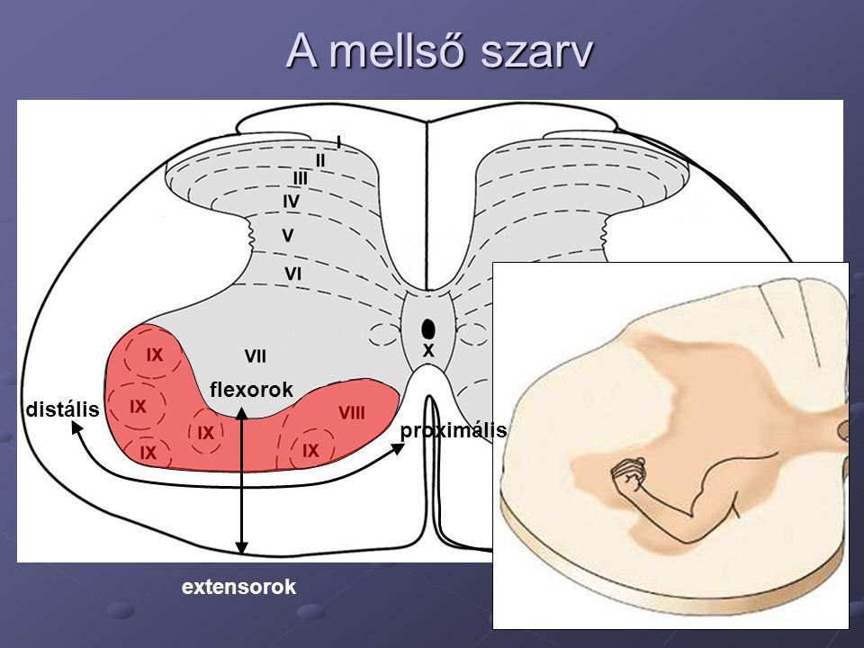 A mellső szarv distális flexorok extensorok proximális