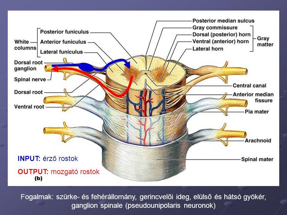 Fogalmak: szürke- és fehérállomány, gerincvelői ideg, elülső és hátsó gyökér, ganglion spinale (pseudounipolaris neuronok) INPUT: érző rostok OUTPUT: mozgató rostok