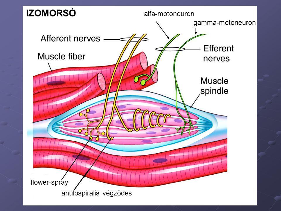 alfa-motoneuron gamma-motoneuron flower-spray anulospiralis végződés IZOMORSÓ
