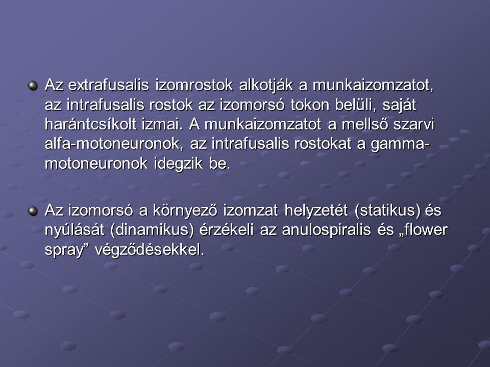 Az extrafusalis izomrostok alkotják a munkaizomzatot, az intrafusalis rostok az izomorsó tokon belüli, saját harántcsíkolt izmai.