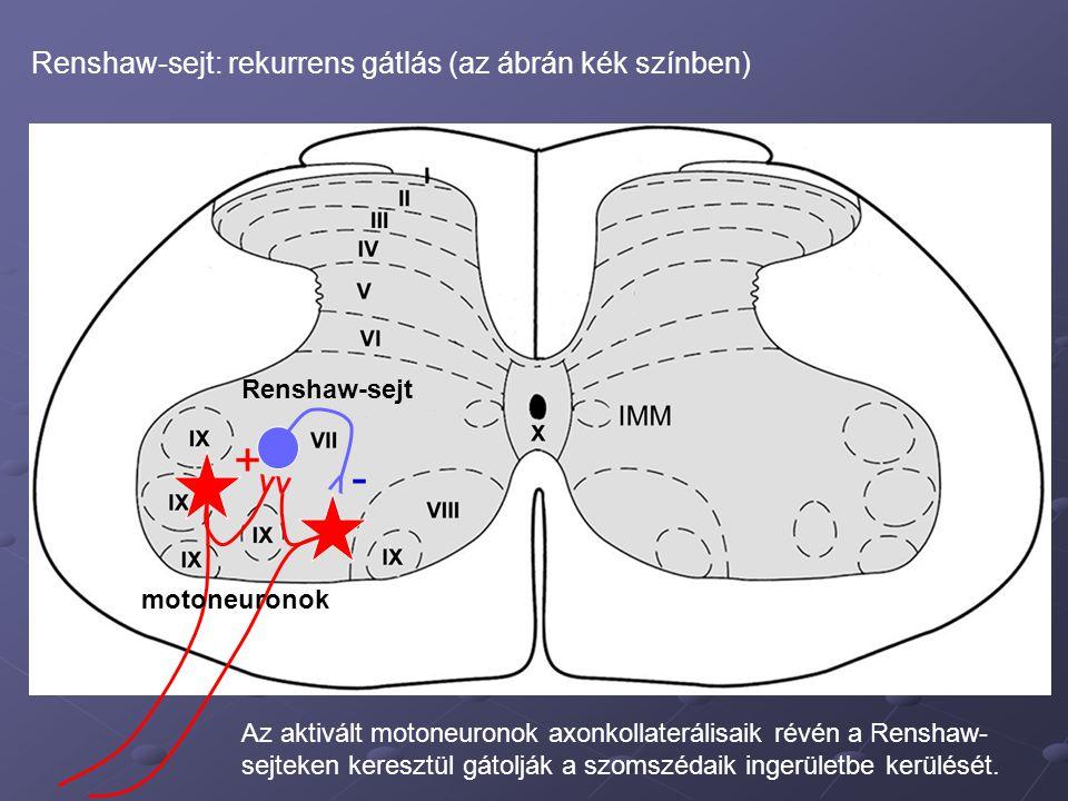V V V - + Renshaw-sejt: rekurrens gátlás (az ábrán kék színben) Az aktivált motoneuronok axonkollaterálisaik révén a Renshaw- sejteken keresztül gátolják a szomszédaik ingerületbe kerülését.