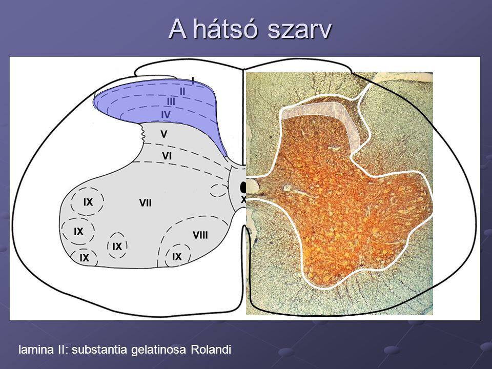 A hátsó szarv lamina II: substantia gelatinosa Rolandi