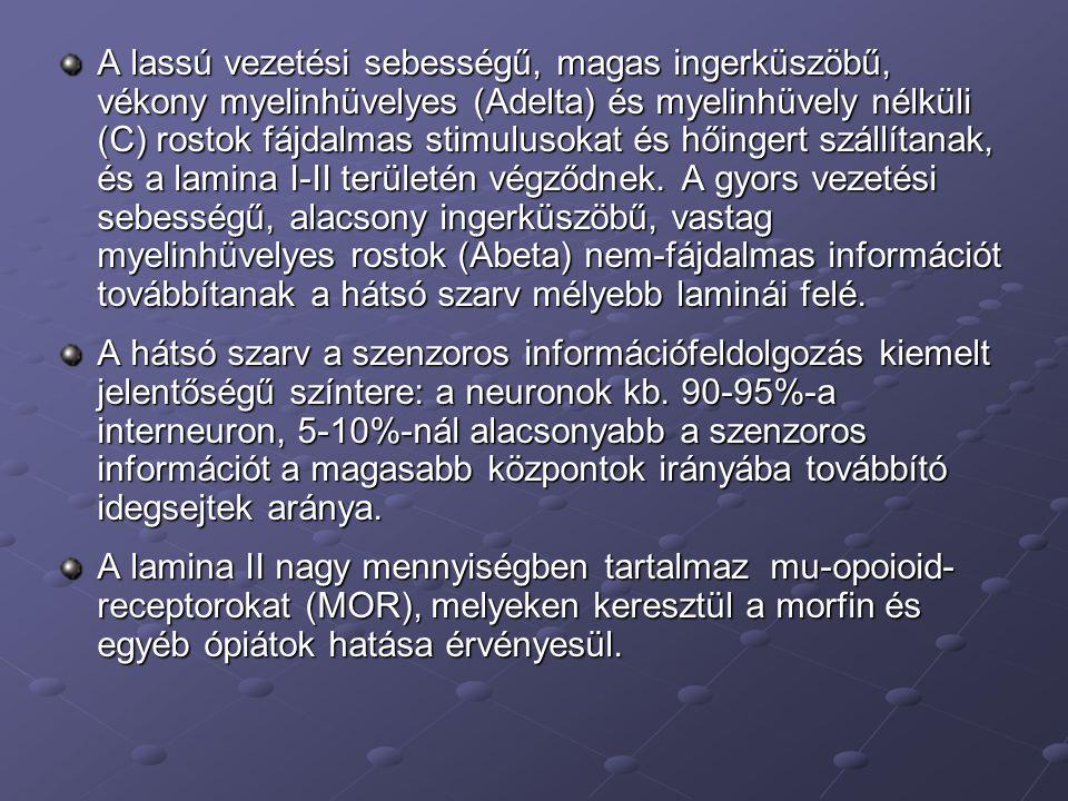 Az intermedier szürkeállomány IML IMM CLARK-STILLING IMM: intermediomedialis mag, IML: intermediolateralis mag