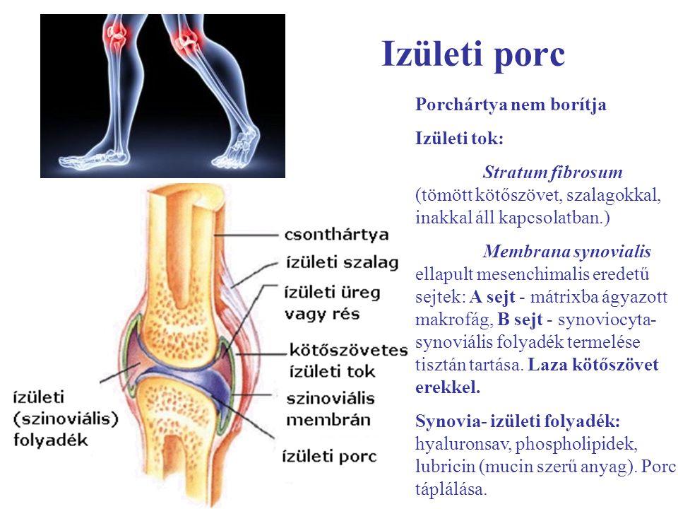 Izületi porc Porchártya nem borítja Izületi tok: Stratum fibrosum (tömött kötőszövet, szalagokkal, inakkal áll kapcsolatban.) Membrana synovialis ella