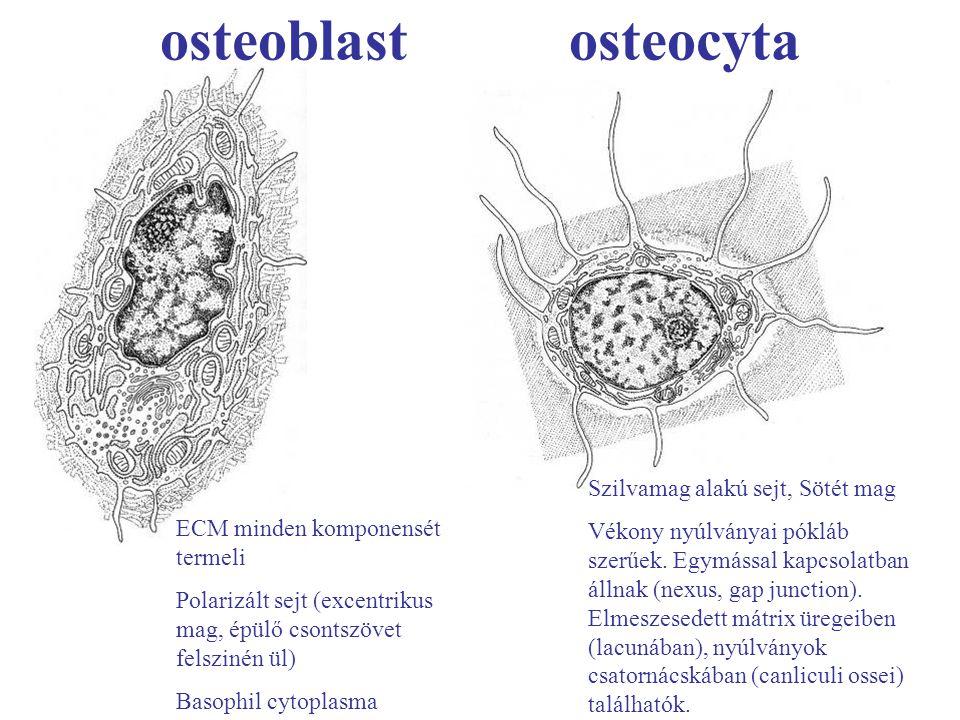 osteoblast osteocyta ECM minden komponensét termeli Polarizált sejt (excentrikus mag, épülő csontszövet felszinén ül) Basophil cytoplasma Szilvamag al