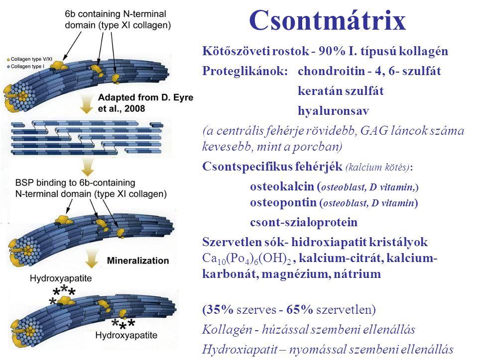 Csontmátrix Kötőszöveti rostok - 90% I. típusú kollagén Proteglikánok: chondroitin - 4, 6- szulfát keratán szulfát hyaluronsav (a centrális fehérje rö