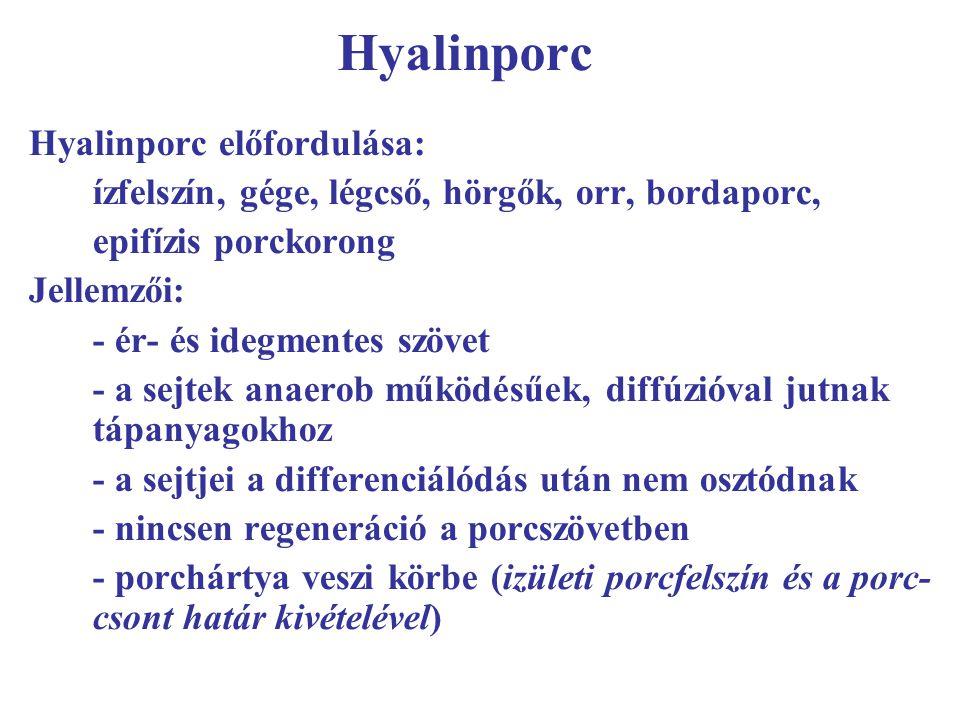 Hyalinporc Hyalinporc előfordulása: ízfelszín, gége, légcső, hörgők, orr, bordaporc, epifízis porckorong Jellemzői: - ér- és idegmentes szövet - a sej