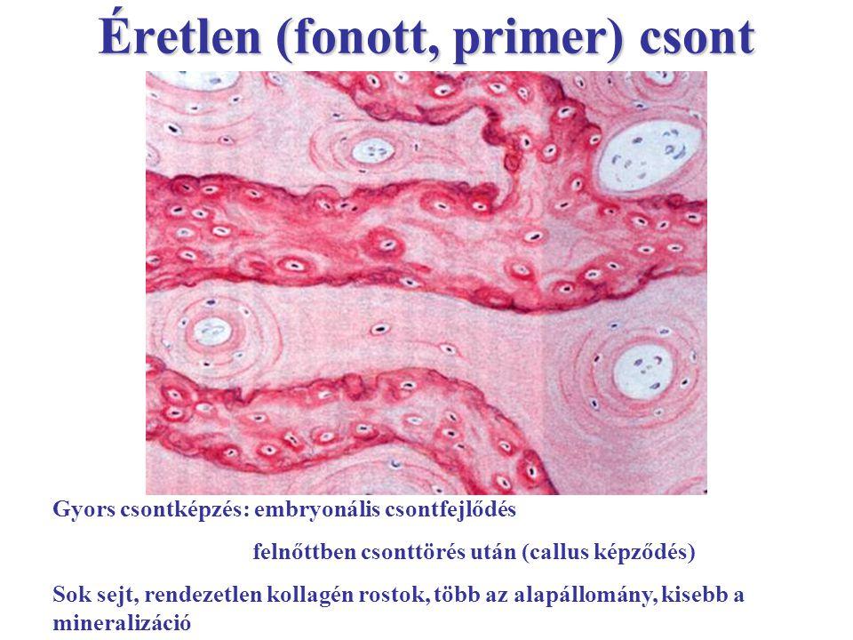 Éretlen (fonott, primer) csont Gyors csontképzés: embryonális csontfejlődés felnőttben csonttörés után (callus képződés) Sok sejt, rendezetlen kollagé
