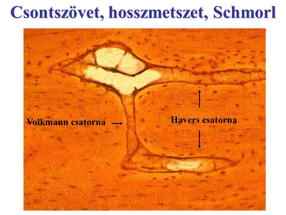 Csontszövet, hosszmetszet, Schmorl Volkmann csatorna Havers csatorna