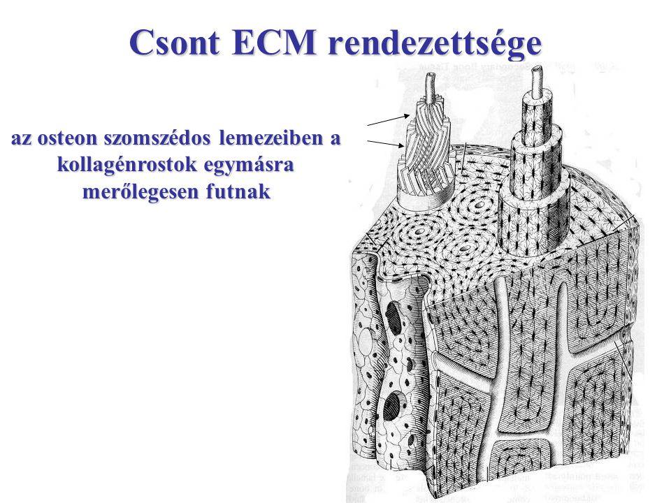 Csont ECM rendezettsége az osteon szomszédos lemezeiben a kollagénrostok egymásra merőlegesen futnak