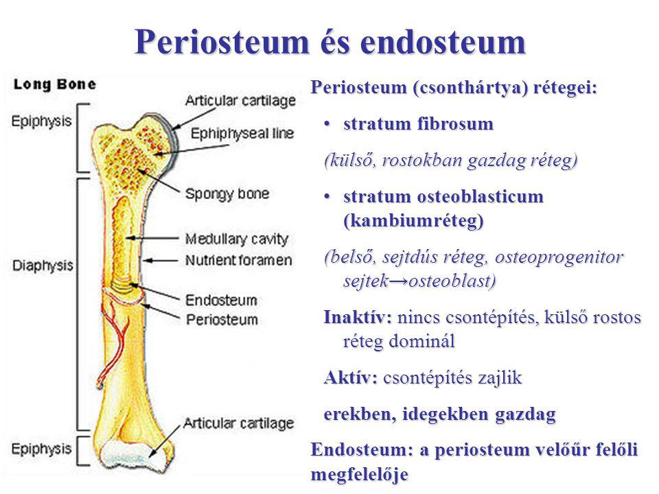 Periosteum és endosteum Periosteum (csonthártya) rétegei: stratum fibrosumstratum fibrosum (külső, rostokban gazdag réteg) stratum osteoblasticum (kam