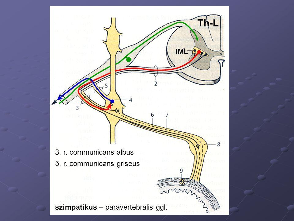 IML 3. r. communicans albus 5. r. communicans griseus Th-L szimpatikus – paravertebralis ggl.