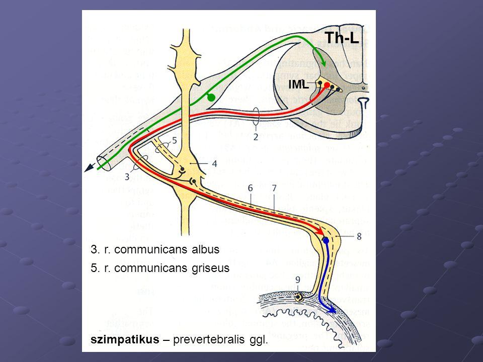 IML 3. r. communicans albus 5. r. communicans griseus szimpatikus – prevertebralis ggl. Th-L