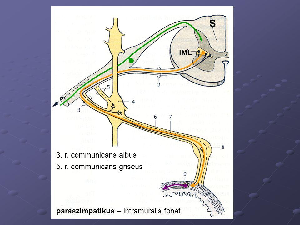 IML 3. r. communicans albus 5. r. communicans griseus S paraszimpatikus – intramuralis fonat