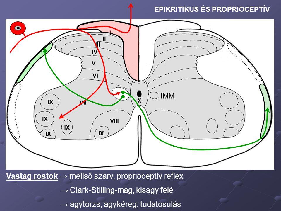 Vastag rostok → mellső szarv, proprioceptív reflex → Clark-Stilling-mag, kisagy felé → agytörzs, agykéreg: tudatosulás EPIKRITIKUS ÉS PROPRIOCEPTÍV