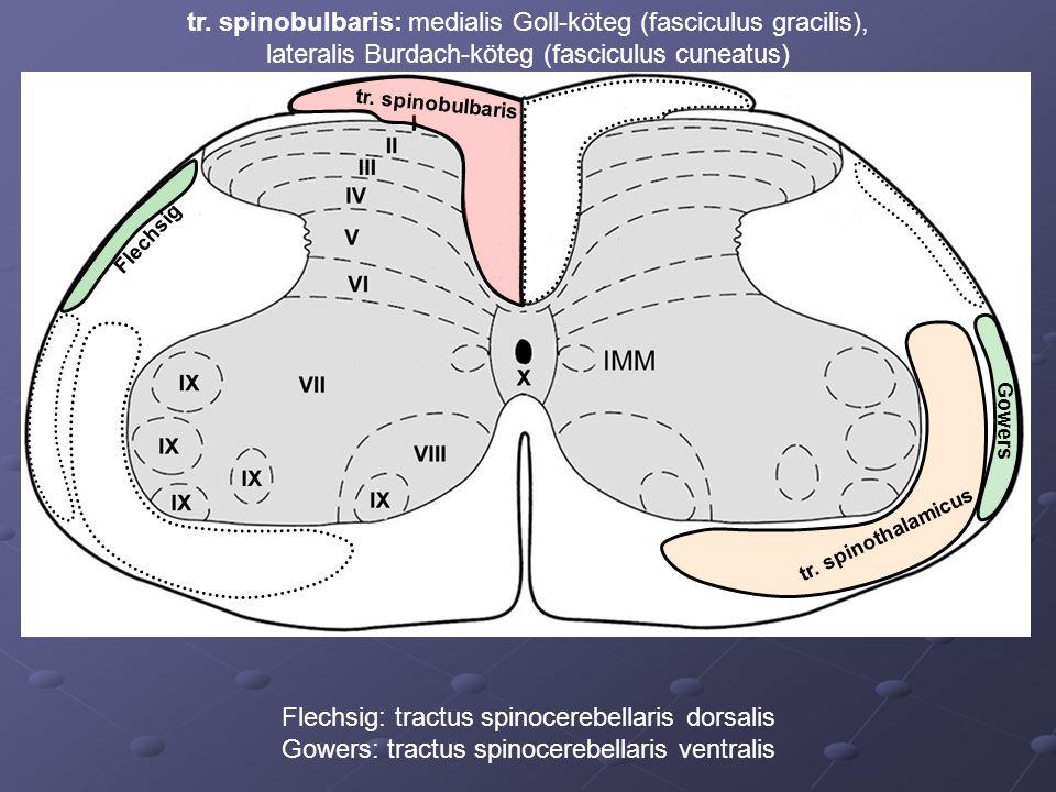 tr. spinobulbaris tr. spinothalamicus Flechsig Gowers Flechsig: tractus spinocerebellaris dorsalis Gowers: tractus spinocerebellaris ventralis tr. spi