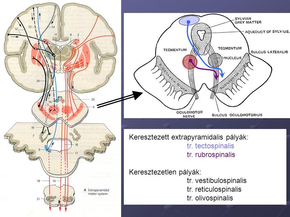Keresztezett extrapyramidalis pályák: tr. tectospinalis tr. rubrospinalis Keresztezetlen pályák: tr. vestibulospinalis tr. reticulospinalis tr. olivos