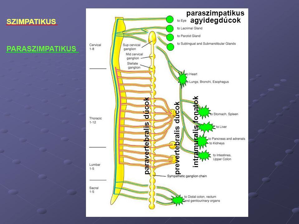 paravertebralis dúcokprevertebralis dúcok paraszimpatikus agyidegdúcok intramuralis fonatok SZIMPATIKUS PARASZIMPATIKUS