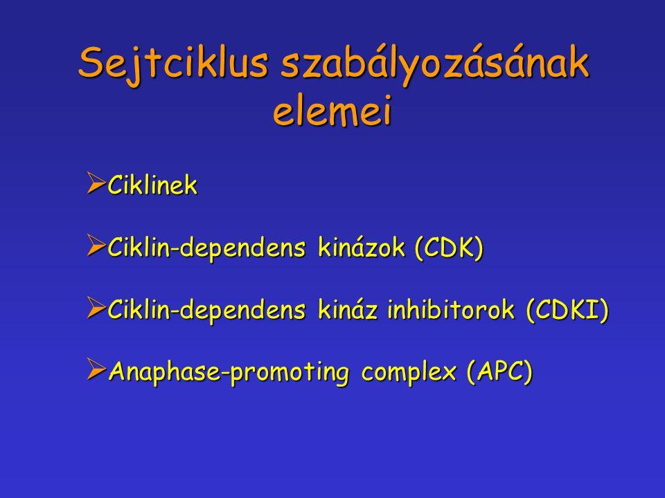 Sejtciklus szabályozásának elemei  Ciklinek  Ciklin-dependens kinázok (CDK)  Ciklin-dependens kináz inhibitorok (CDKI)  Anaphase-promoting complex