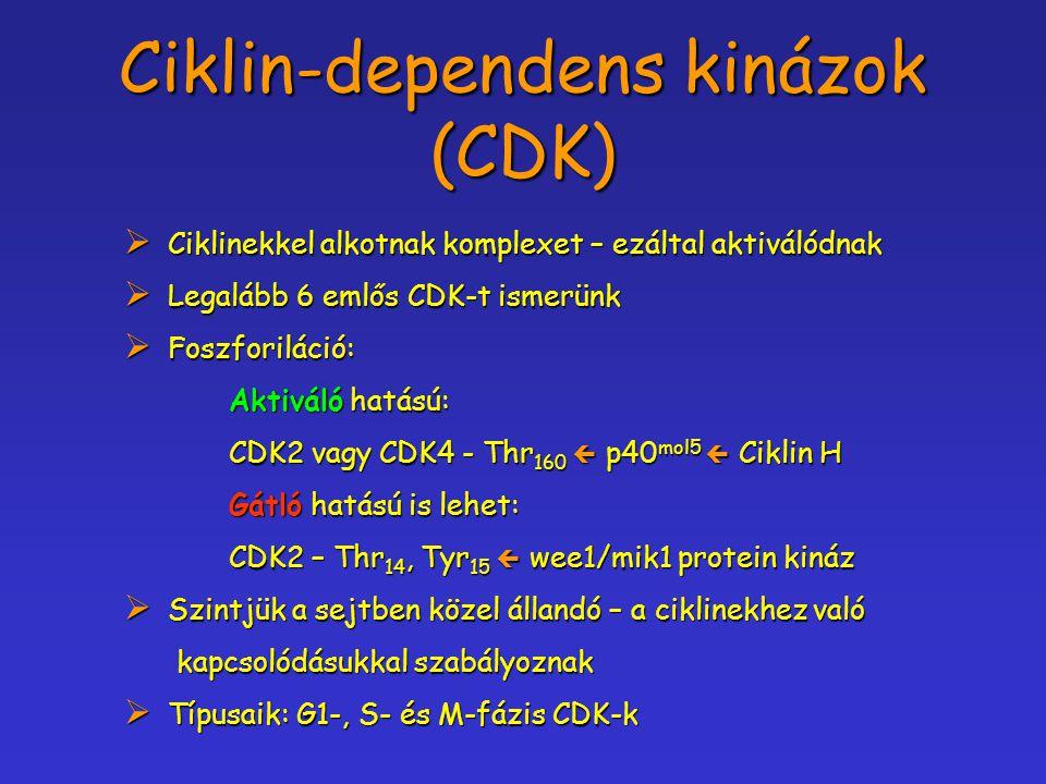Ciklin-dependens kinázok (CDK)  Ciklinekkel alkotnak komplexet – ezáltal aktiválódnak  Legalább 6 emlős CDK-t ismerünk  Foszforiláció: Aktiváló hat