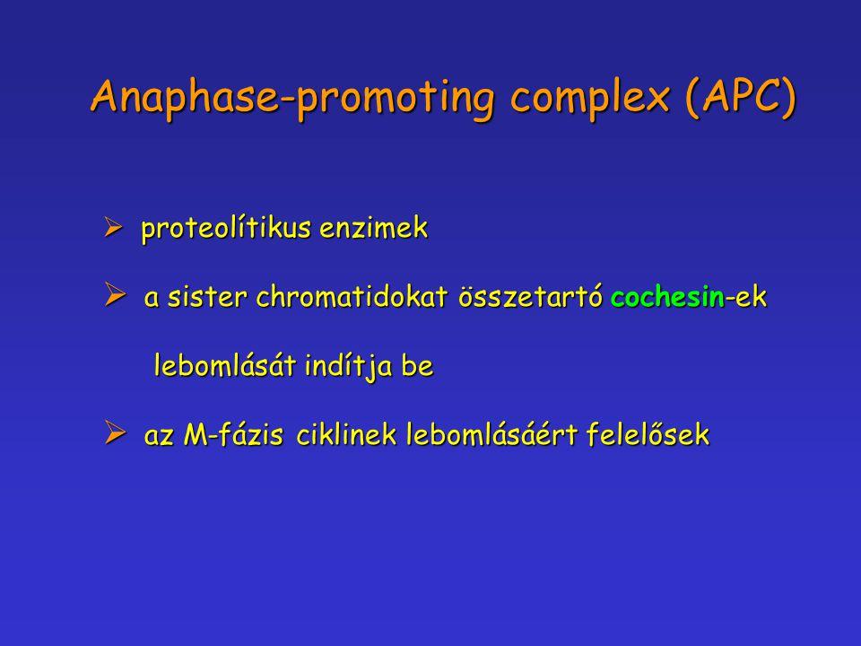 Anaphase-promoting complex (APC)  proteolítikus enzimek  a sister chromatidokat összetartó cochesin-ek lebomlását indítja be lebomlását indítja be 