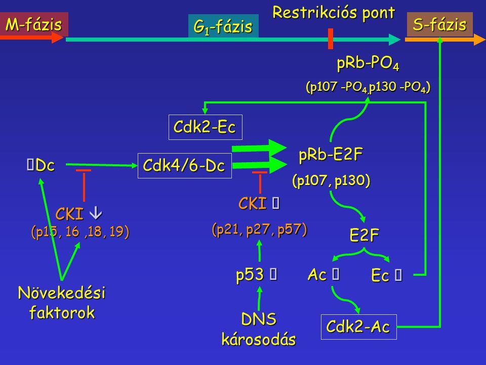 CKI  (p15, 16,18, 19) Növekedési faktorok  Dc Cdk4/6-Dc pRb-E2F (p107, p130) E2F Ac  Ec  Cdk2-Ac pRb-PO 4 (p107 -PO 4, p130 -PO 4 ) M-fázis G 1 -f