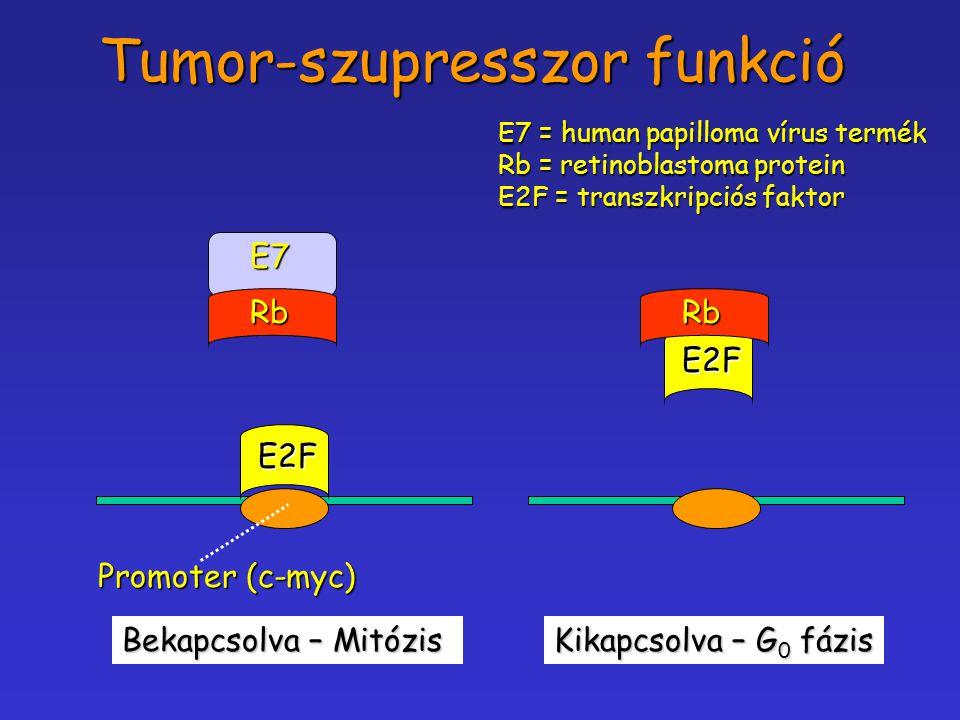 Tumor-szupresszor funkció Promoter (c-myc) E2FRbE7 Bekapcsolva – Mitózis E2F Rb Kikapcsolva – G 0 fázis E7 = human papilloma vírus termék Rb = retinob