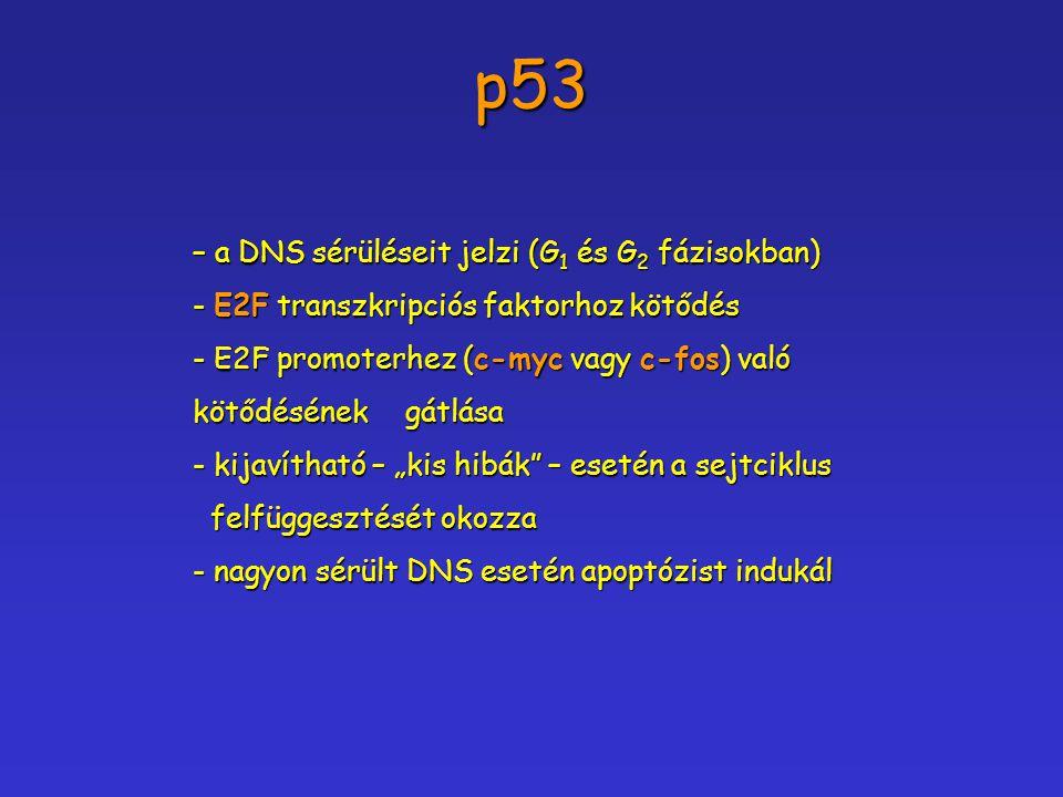 p53 – a DNS sérüléseit jelzi (G 1 és G 2 fázisokban) - E2F transzkripciós faktorhoz kötődés - E2F transzkripciós faktorhoz kötődés - E2F promoterhez (