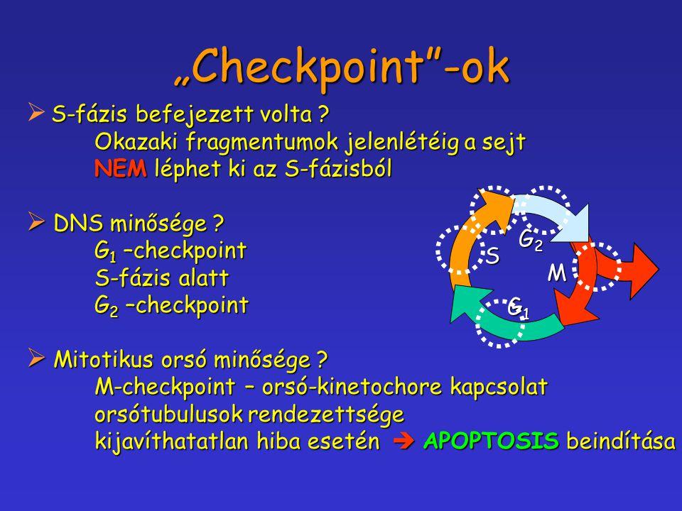 """""""Checkpoint""""-ok S-fázis befejezett volta ?  S-fázis befejezett volta ? Okazaki fragmentumok jelenlétéig a sejt NEM léphet ki az S-fázisból  DNS minő"""