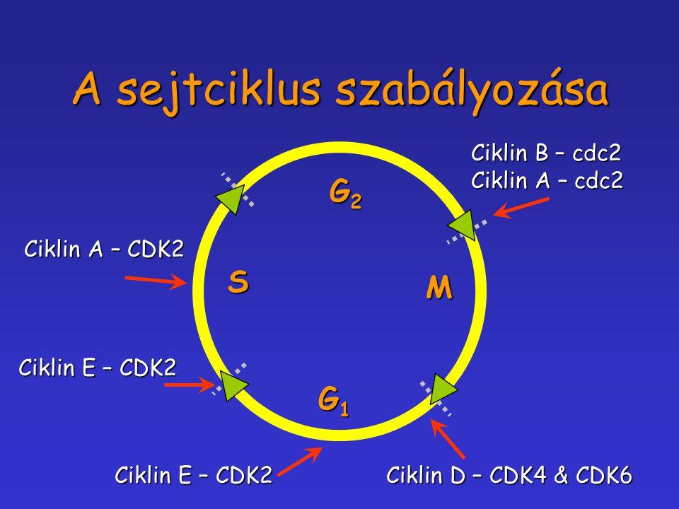 A sejtciklus szabályozása Ciklin D – CDK4 & CDK6 Ciklin E – CDK2 Ciklin A – CDK2 Ciklin B – cdc2 Ciklin A – cdc2 G1G1G1G1 G2G2G2G2 M S