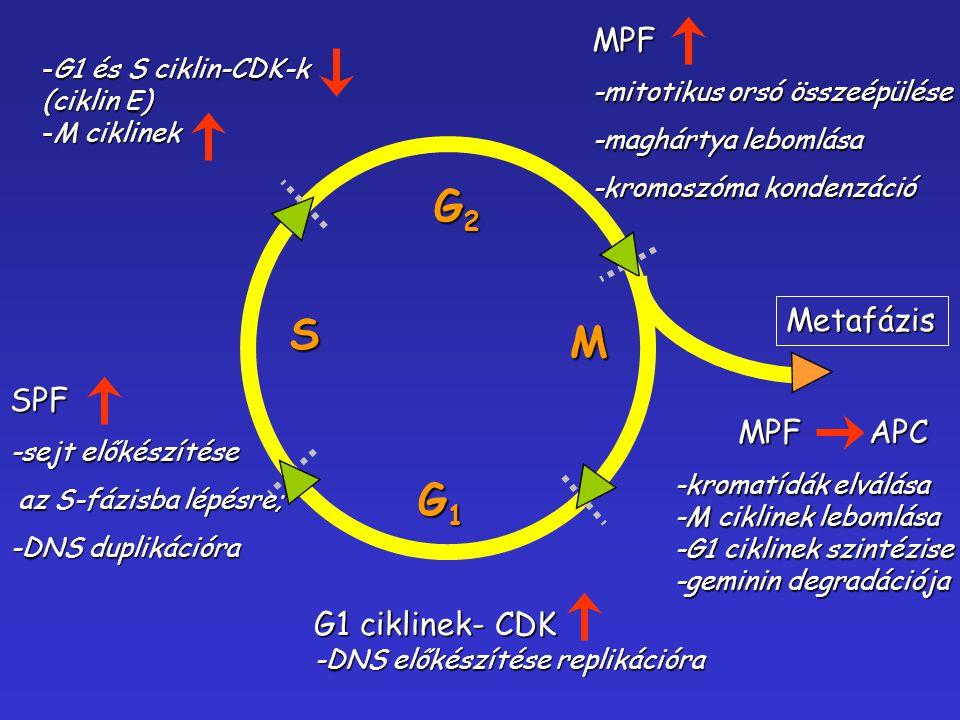 G1G1G1G1 G2G2G2G2 M S G1 ciklinek- CDK -DNS előkészítése replikációra SPF -sejt előkészítése az S-fázisba lépésre; az S-fázisba lépésre; -DNS duplikác
