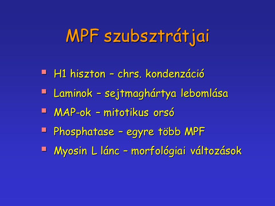 MPF szubsztrátjai  H1 hiszton – chrs. kondenzáció  Laminok – sejtmaghártya lebomlása  MAP-ok – mitotikus orsó  Phosphatase – egyre több MPF  Myos