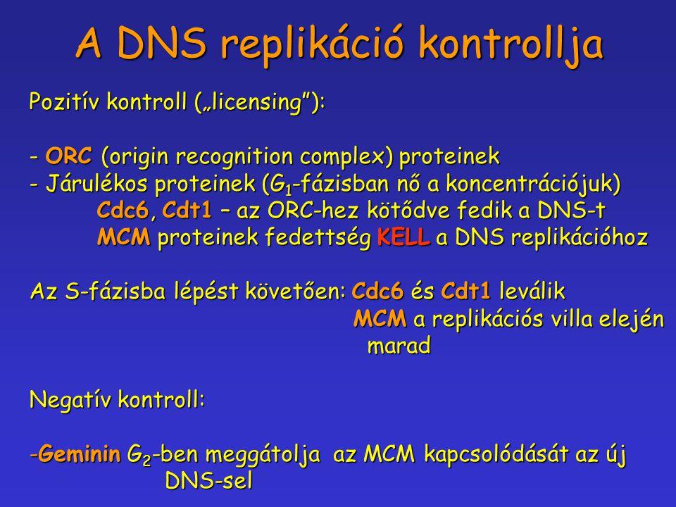 """A DNS replikáció kontrollja Pozitív kontroll (""""licensing""""): - ORC (origin recognition complex) proteinek - Járulékos proteinek (G 1 -fázisban nő a kon"""