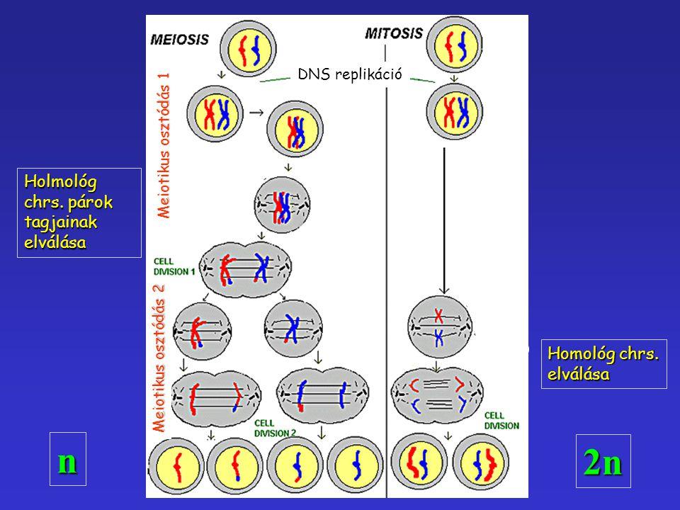Homológ chrs. elválása Holmológ chrs. párok tagjainak elválása DNS replikáció Meiotikus osztódás 1 Meiotikus osztódás 2 n 2n