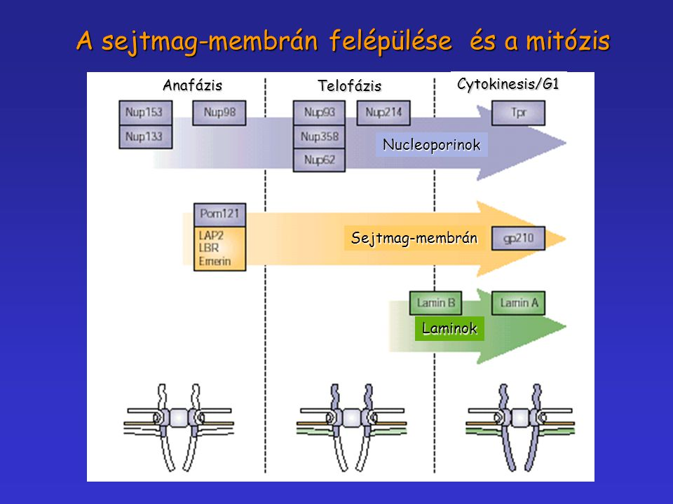 Anafázis TelofázisCytokinesis/G1Nucleoporinok Sejtmag-membrán Laminok A sejtmag-membrán felépülése és a mitózis